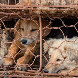Dog Slaughter For Leather